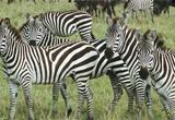 Zebra Rescue